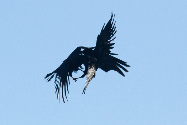Two crows engaging in mid-air combat.