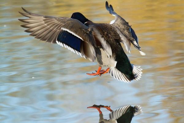 Duck landing in pond