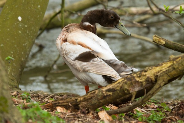 Hybrid duck at Falmer