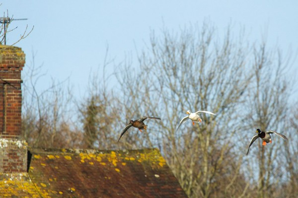 Trio of ducks flying past village cottage