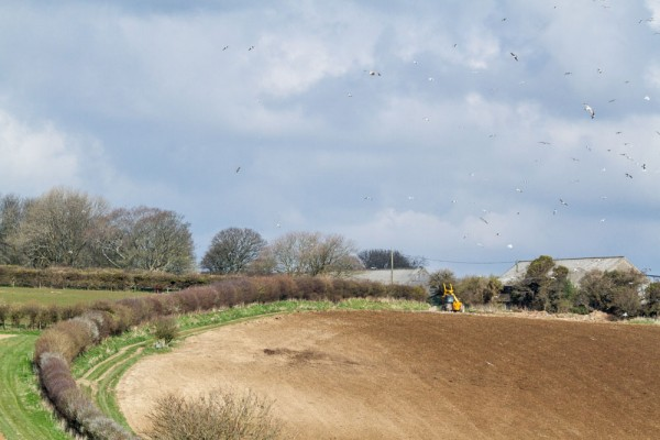Ploughed field and herring gull