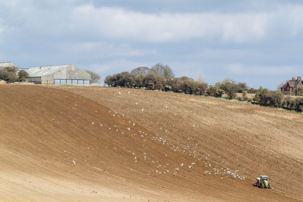 Ploughed field and herring gulls