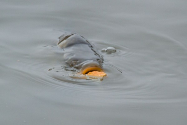 carp eating bread