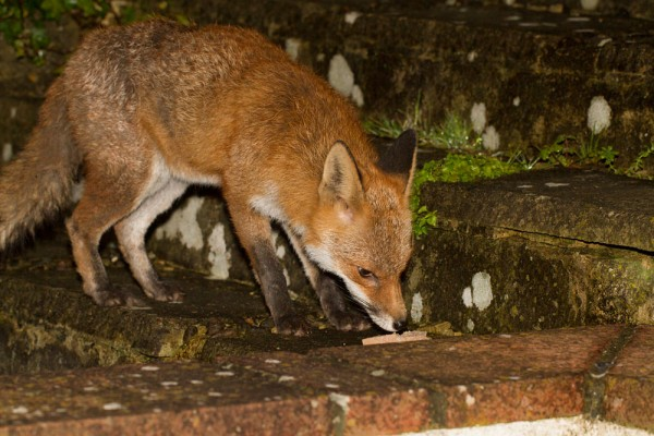 Fox being treated for mange