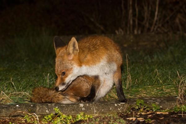 Fox not scratching