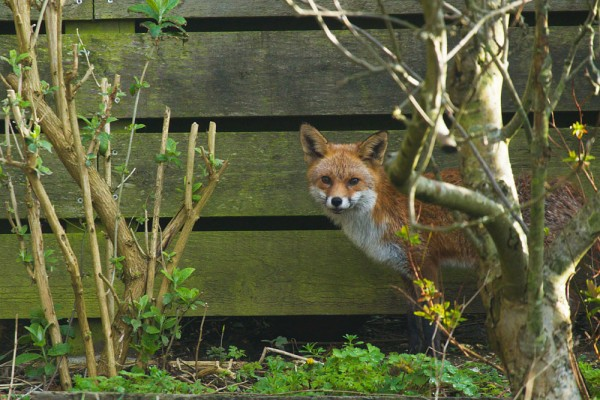 fox at back of garden