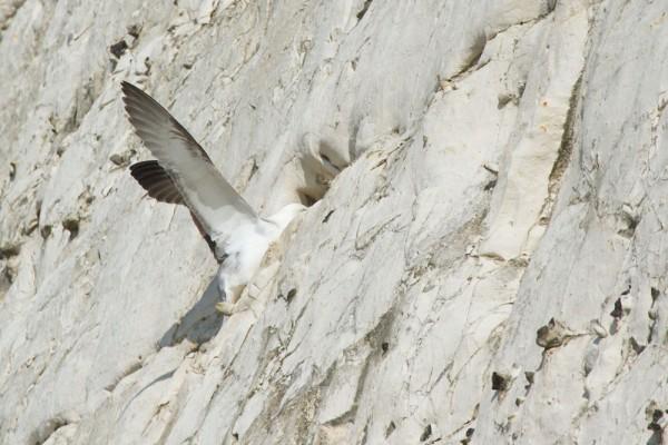 Fulmar approaching a nesting hole