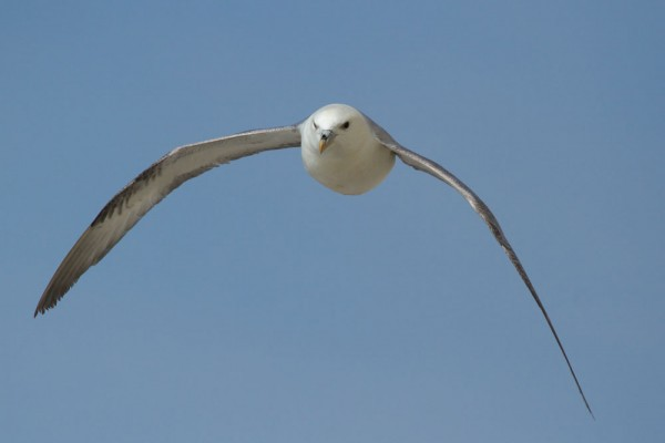 Fulmar at Rottingdean