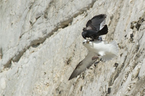 Fulmar being attacked by a jackdaw