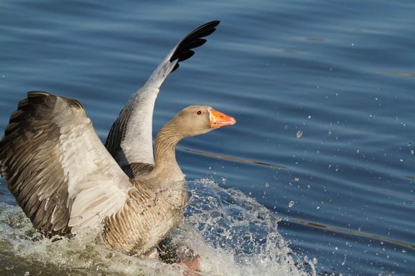 Greylag goose landing in Falmer Pond,