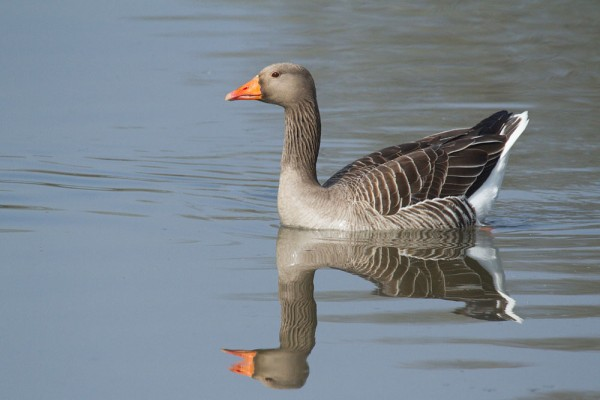 Greylag goose and reflection