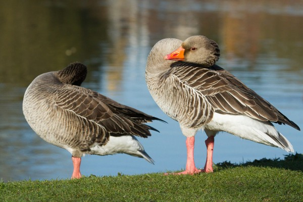 Greylag geese at the edge of Falmer Pond