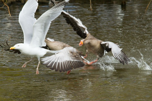 greylag geese chasing