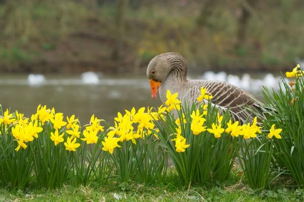 Greylag goose and daffodils