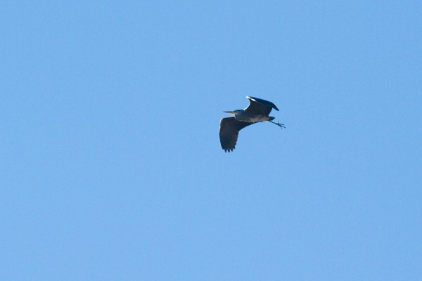 grey heron over Woodingdean