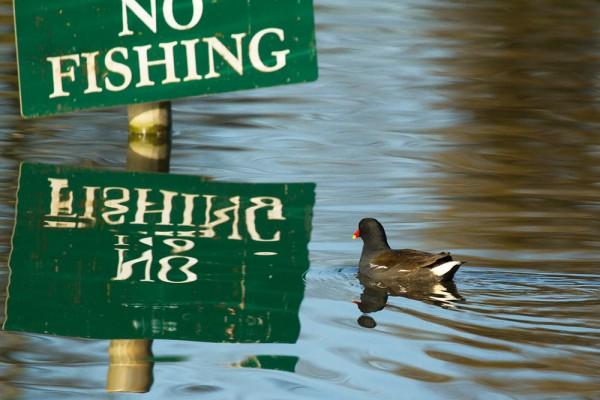 Moorhen and No Fishing sign
