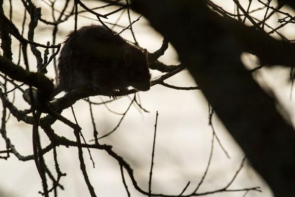 Rat in tree above Falmer Pond