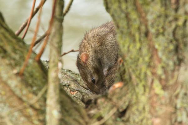 Brown rat in tree
