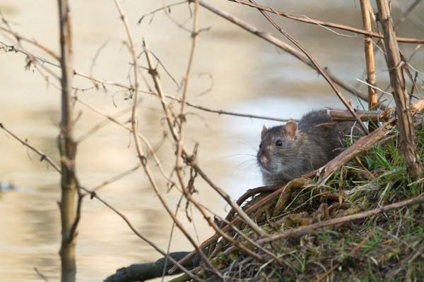 Brown rat (Rattus norvegicus) foraging at the edge of Falmer Pond, East Sussex.