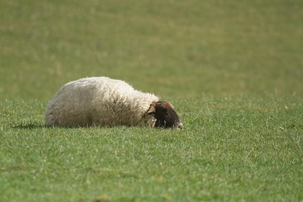 Sheep sleeping in field