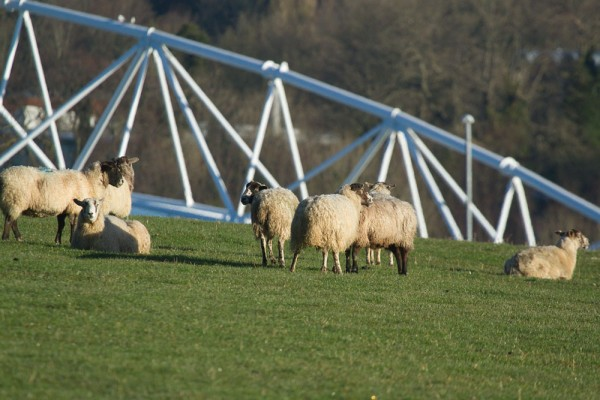 Sheep grazing with Amex Stadium in background.