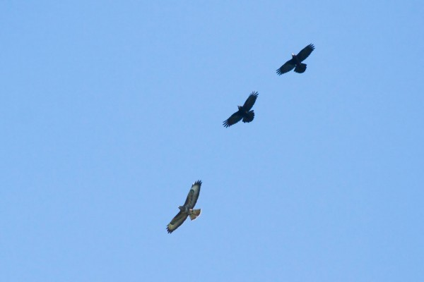 Buzzard being mobbed by rooks