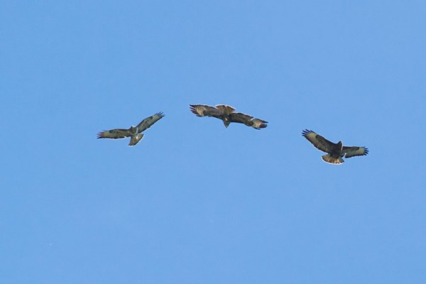 Three buzzards