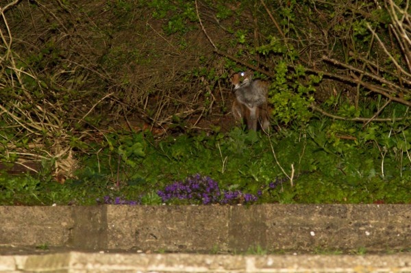 Shy fox at the rear of the garden
