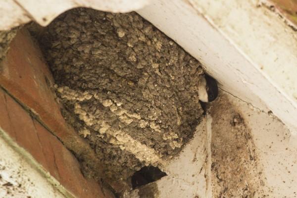 House martin in nest