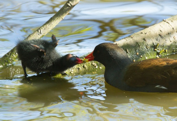 Moorhen chick and adult