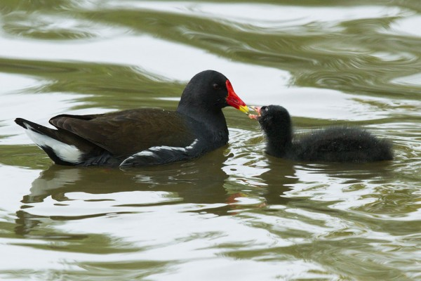 Moorhen chicks