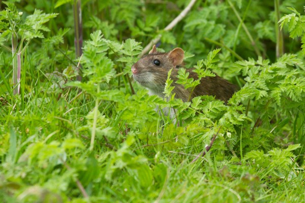 Brown rat in undergrowth