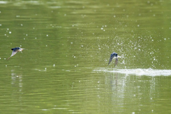 Swallows flying over Falmer Pond