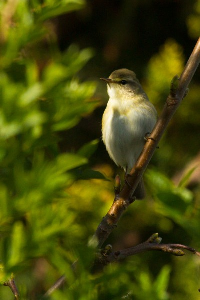 Willow warbler (or chiffchaff)