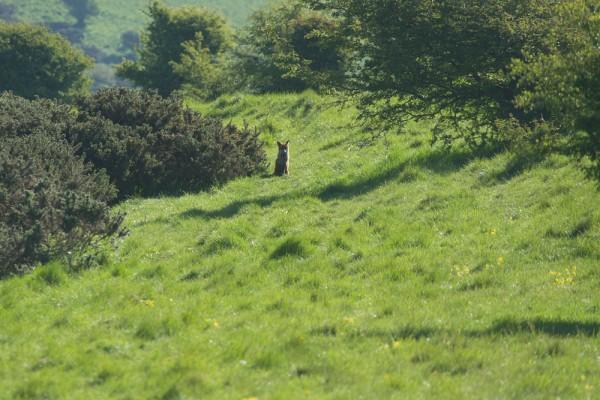 fox at castle hill