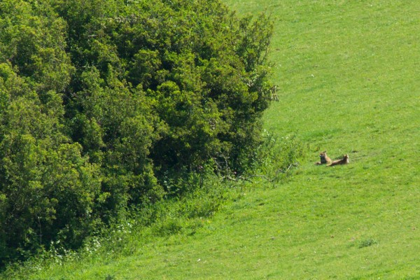 Two foxes in field at Falmer