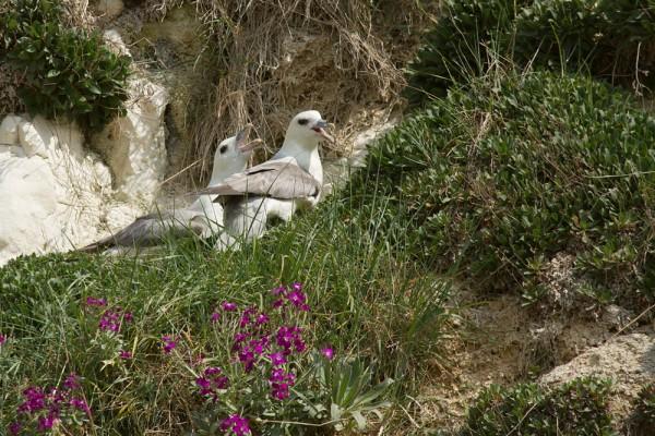 fulmars nesting at Rottigndean