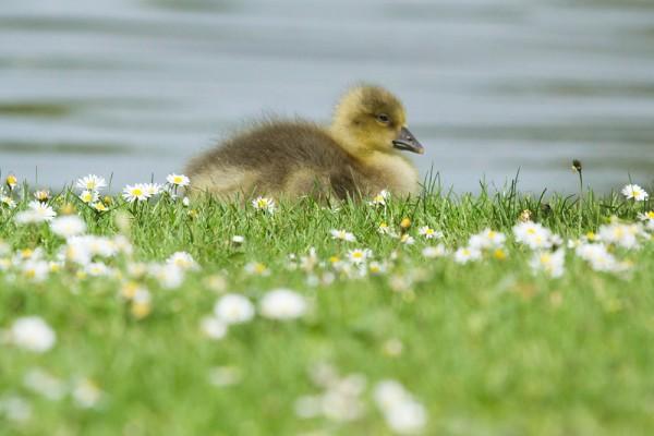 goslings and daisies