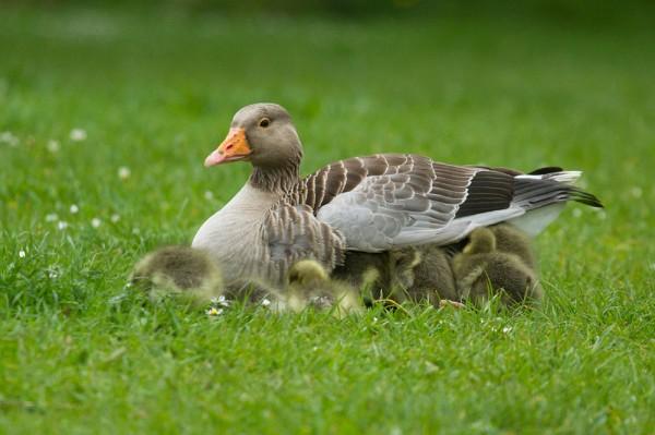 goslings sheltering under goose
