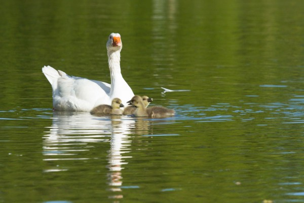 White goose with three greylag goslings