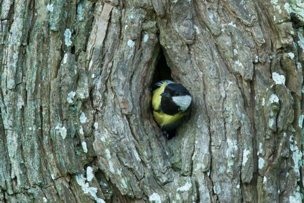 great tit at nest hole