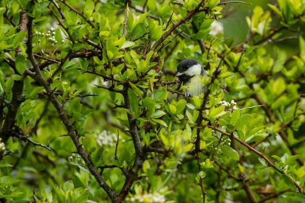 Fledgling great tit
