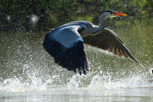 heron in spray