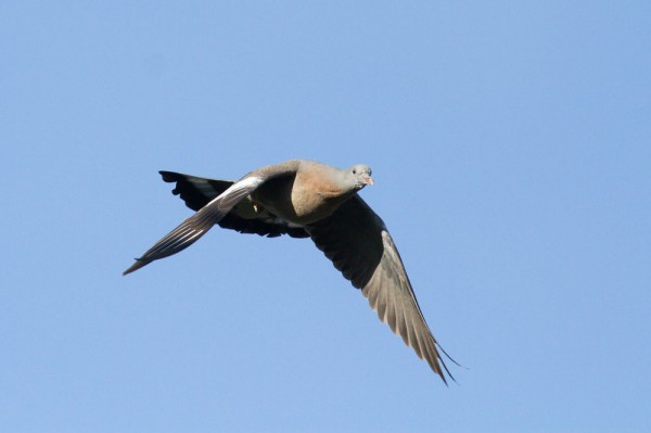 fledgling woodpigeon
