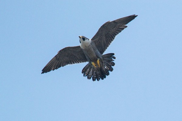 Peregrine falcon over West Street, Brighton