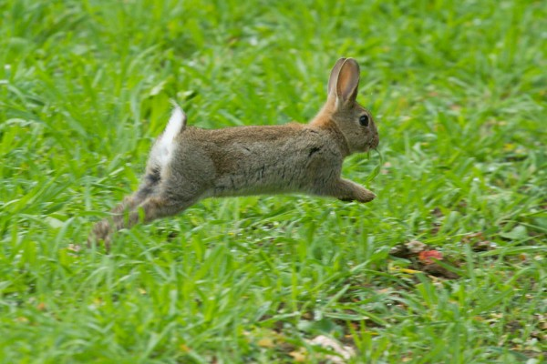 Young rabbit running