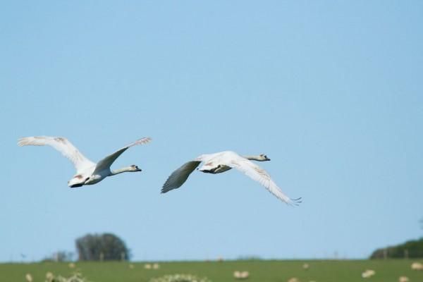Two mute swans in flight