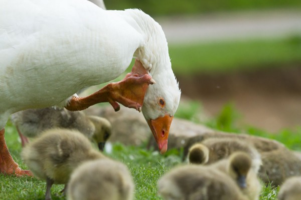 White goose and greylag goslings