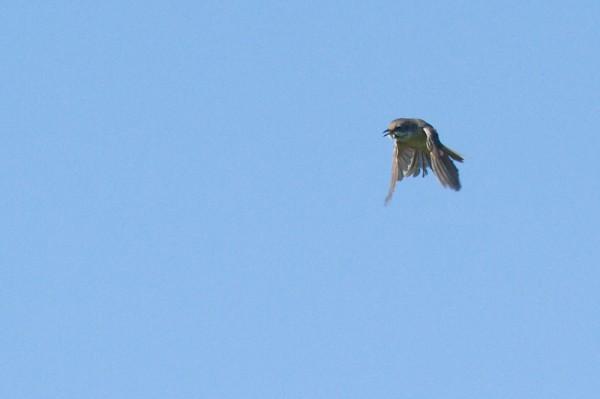 whitethroat in flight
