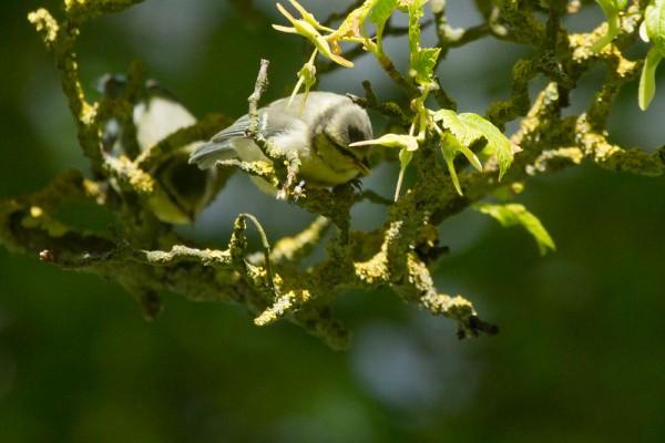 blue tit fledgling